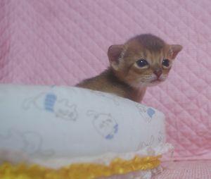 アビシニアン子猫 家族募集 _e0033609_21361711.jpg