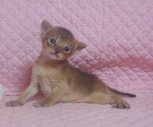 アビシニアン子猫 家族募集 _e0033609_2148206.jpg