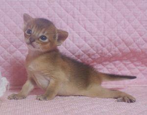 アビシニアン子猫 家族募集 _e0033609_21483463.jpg