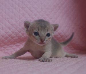 アビシニアン子猫 家族募集 _e0033609_214916100.jpg