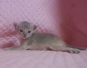 アビシニアン子猫 家族募集 _e0033609_21492620.jpg