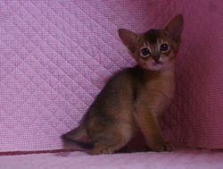 アビシニアン子猫 家族募集 _e0033609_22113728.jpg