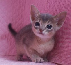 アビシニアン子猫 家族募集 _e0033609_22121269.jpg