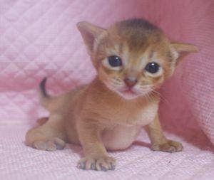 アビシニアン子猫 家族募集 _e0033609_2221458.jpg