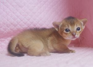 アビシニアン子猫 家族募集 _e0033609_222351.jpg