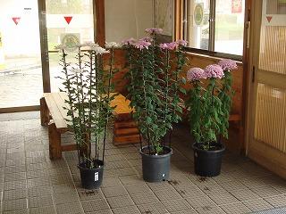 菊花がきれいです_d0155416_105040100.jpg
