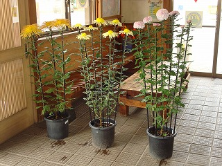 菊花がきれいです_d0155416_10505036.jpg