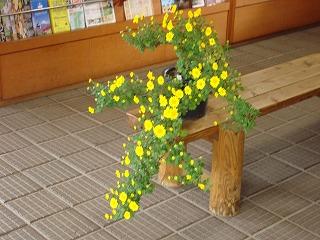菊花がきれいです_d0155416_10512090.jpg