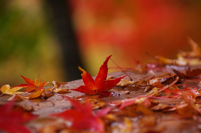 雨の紅葉_c0047422_18265228.jpg