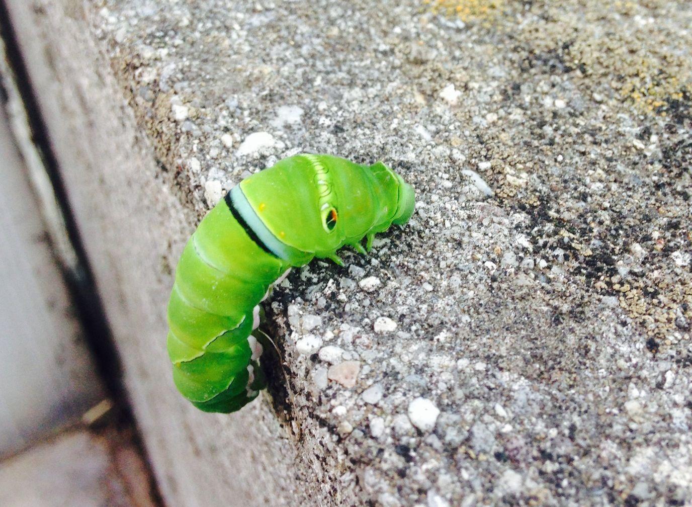 アゲハの幼虫  娘の報告_d0254540_18282926.jpg