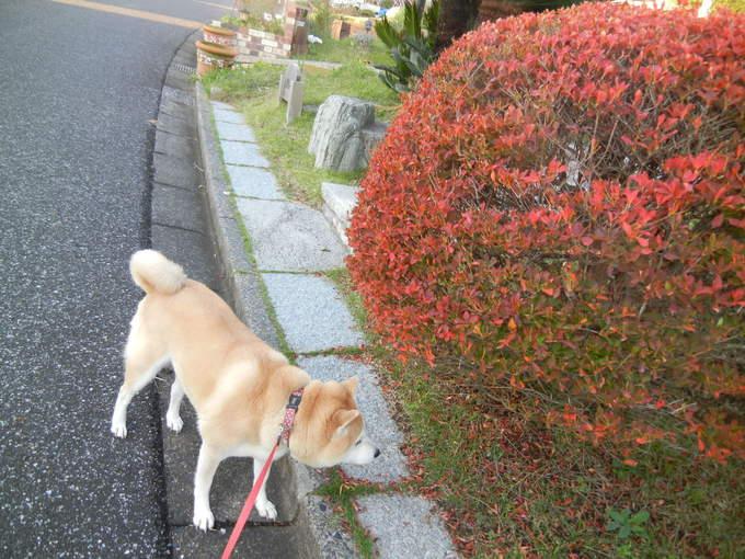 '13,11,8(金)松茸ご飯にしたよ~!_f0060461_8492787.jpg
