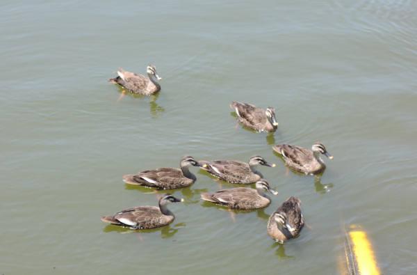 手賀沼に棲む水鳥たち 4_e0200879_12152269.jpg