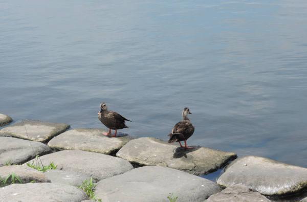 手賀沼に棲む水鳥たち 4_e0200879_12155555.jpg