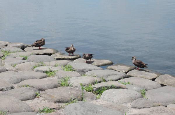 手賀沼に棲む水鳥たち 4_e0200879_12161571.jpg