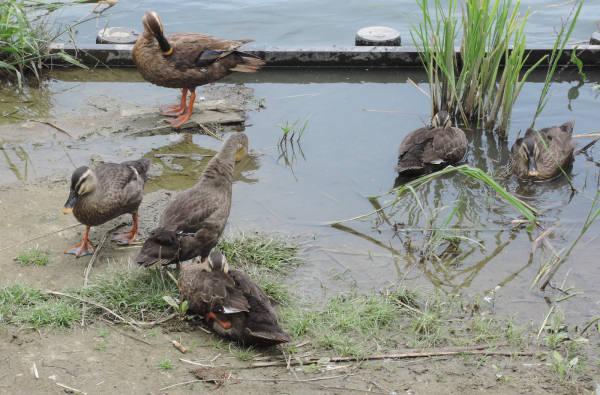 手賀沼に棲む水鳥たち 4_e0200879_12163739.jpg