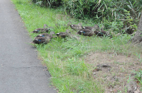 手賀沼に棲む水鳥たち 4_e0200879_12174822.jpg