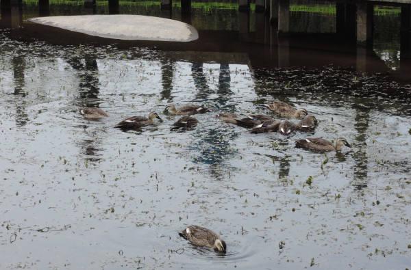 手賀沼に棲む水鳥たち 4_e0200879_12182818.jpg