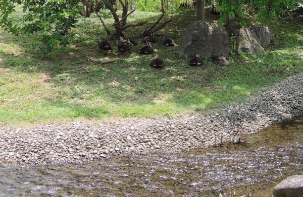 手賀沼に棲む水鳥たち 4_e0200879_12185630.jpg