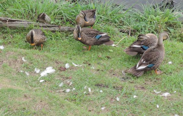 手賀沼に棲む水鳥たち 4_e0200879_12193152.jpg