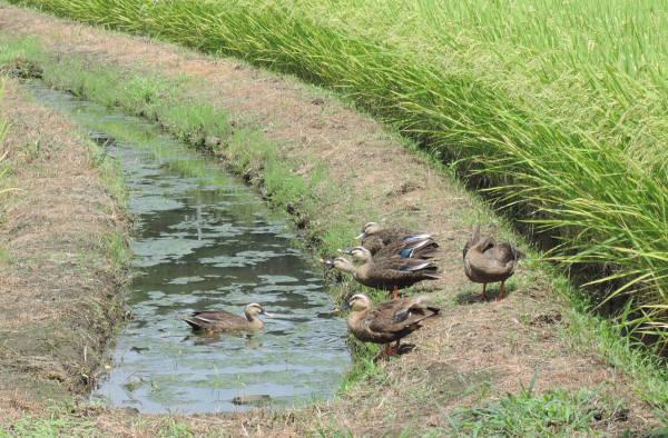 手賀沼に棲む水鳥たち 4_e0200879_12205465.jpg