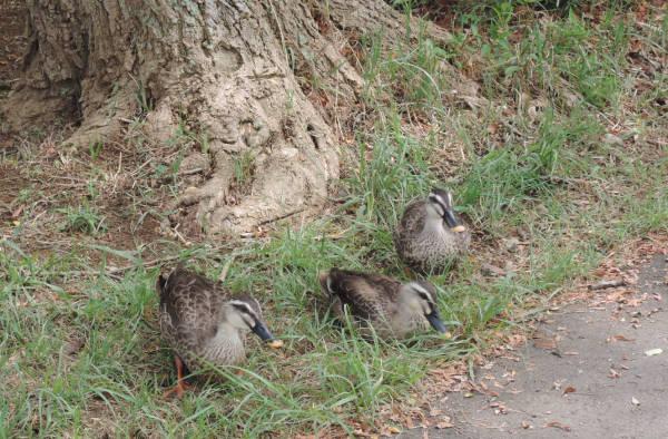手賀沼に棲む水鳥たち 4_e0200879_12214988.jpg