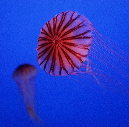 新江ノ島水族館のクラゲ_b0145398_22413393.jpg