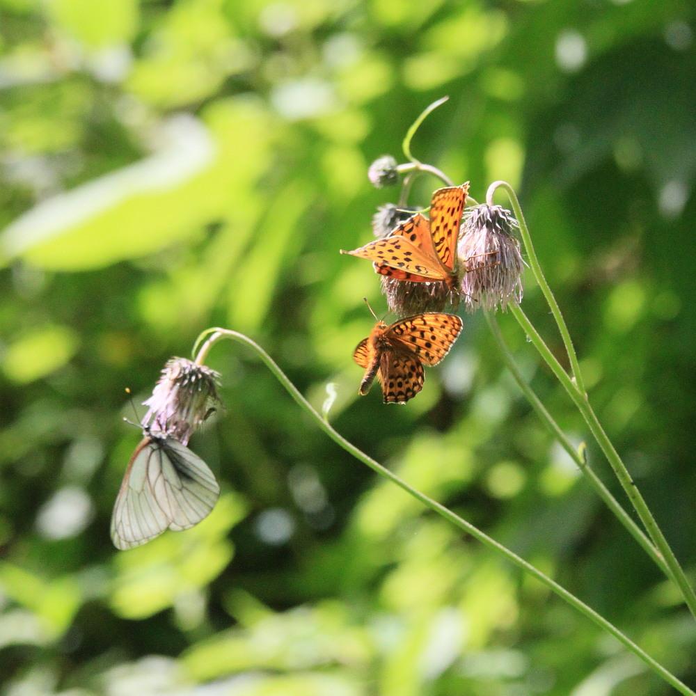 ギンボシヒョウモン  体格差のある雌雄の求愛シーン。 2013.7.13北海道18_a0146869_53538.jpg