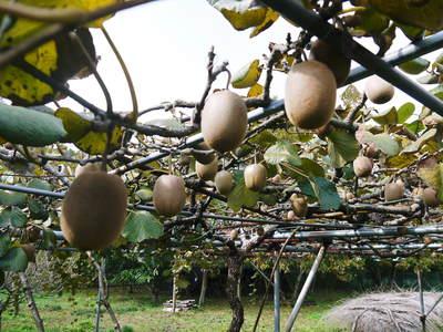 秋の収穫は油断大敵!お化けしいたけとキウイのお話!!_a0254656_18171587.jpg
