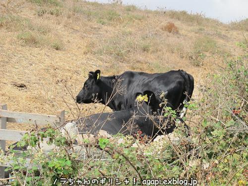 ティノス島の牛さん、そして日本の花嫁衣裳_f0037264_18544914.jpg