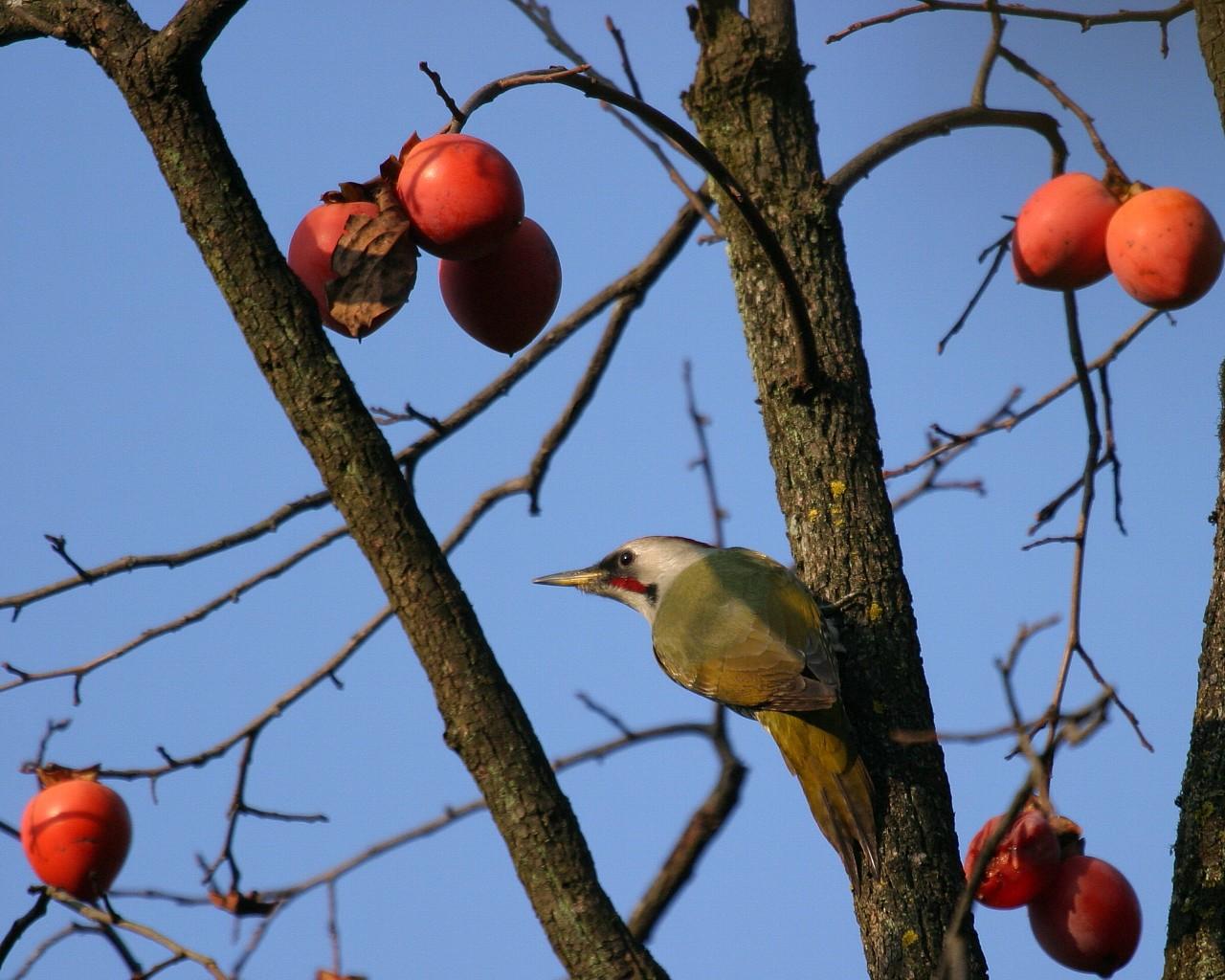 秋冬の定番 柿と野鳥シリーズその5: アオゲラ_f0105570_21354199.jpg