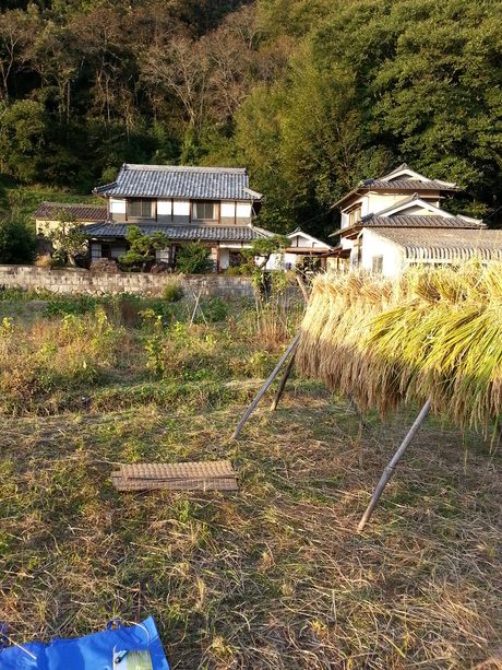 岡やーまん 稲刈り_c0226146_1474026.jpg
