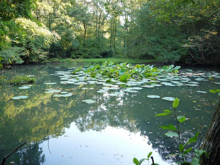 ひどい、台峯・谷戸の池が本当の蓮田になっちゃった10・26_c0014967_21431026.jpg