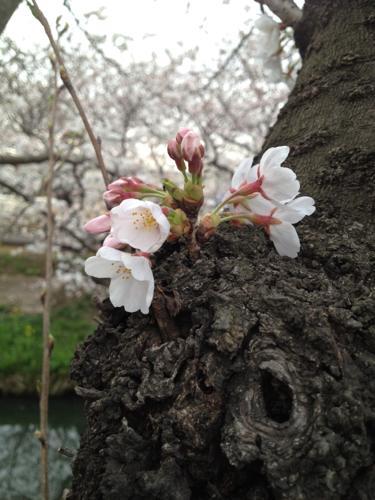 桜満開_f0309779_1043337.jpg