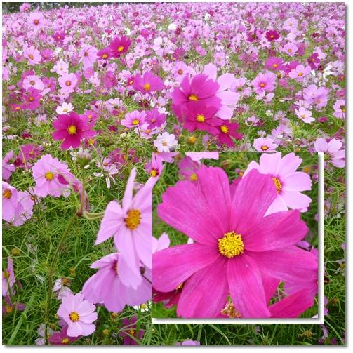 武庫川河川敷緑地のコスモス_d0078486_19492448.jpg