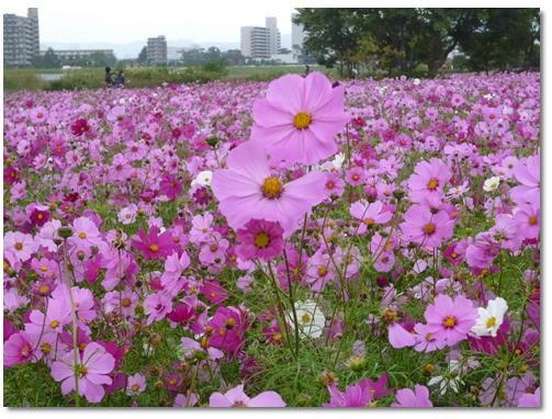 武庫川河川敷緑地のコスモス_d0078486_1949447.jpg