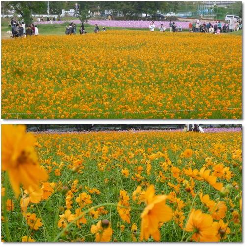 武庫川河川敷緑地のコスモス_d0078486_19504748.jpg