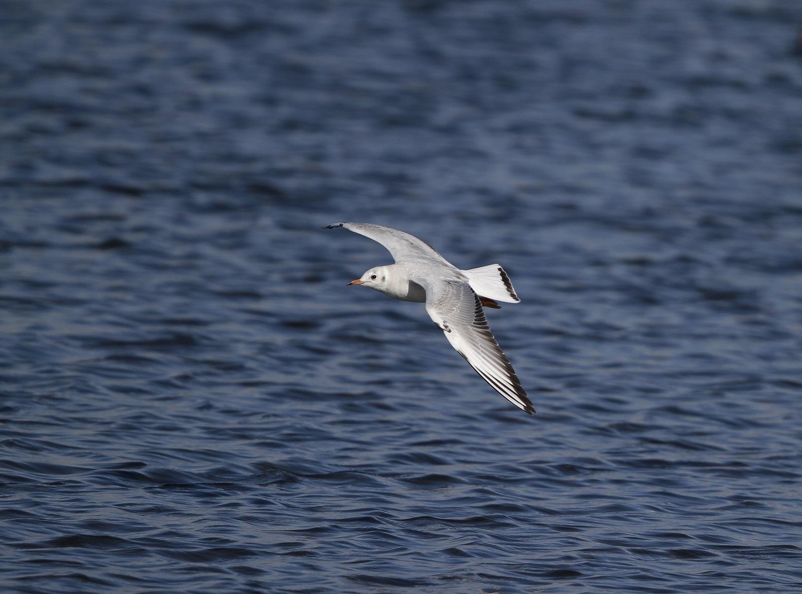 海無し県の沼でのユリカモメ_f0239515_21285286.jpg