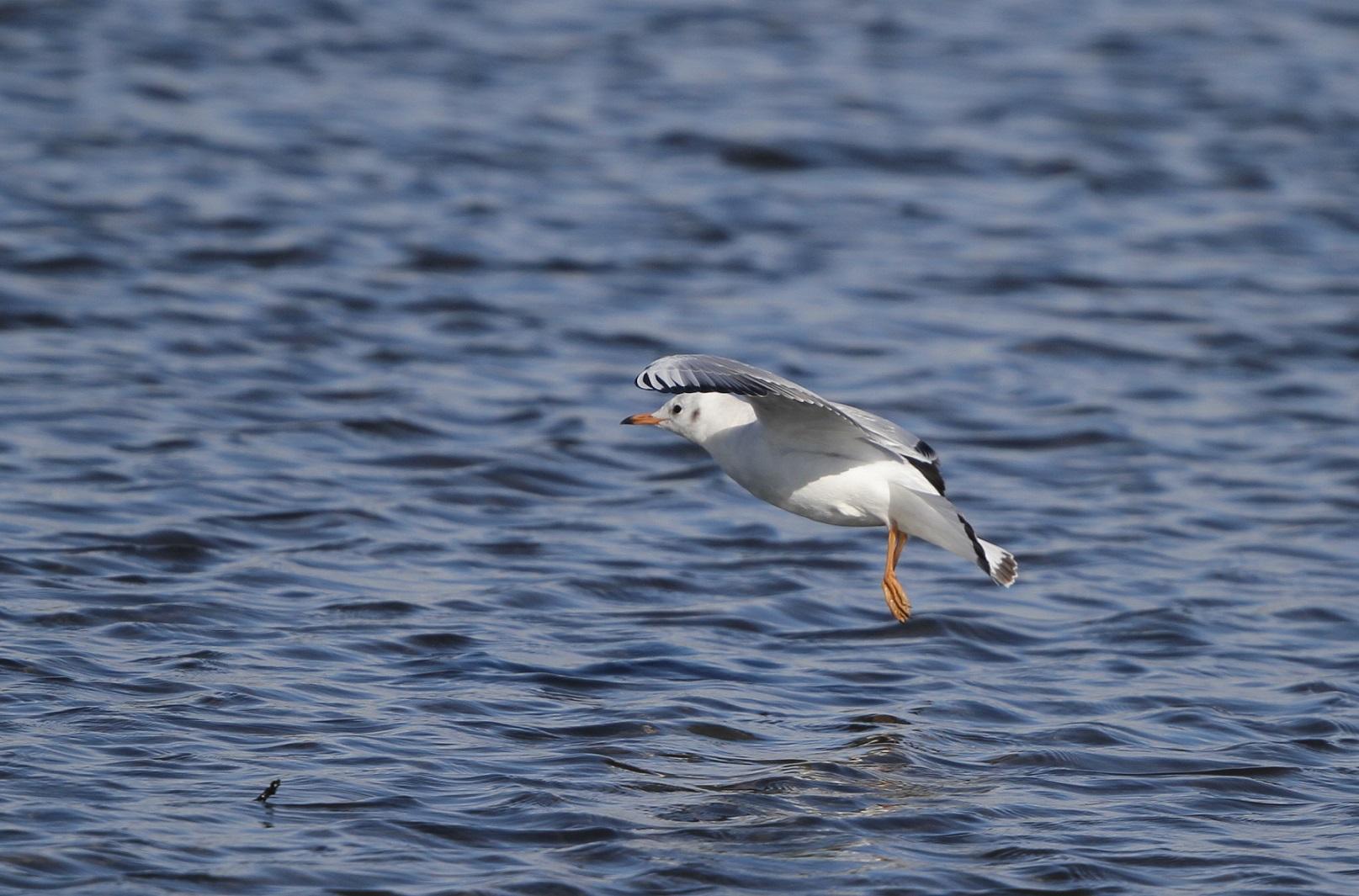 海無し県の沼でのユリカモメ_f0239515_21293679.jpg