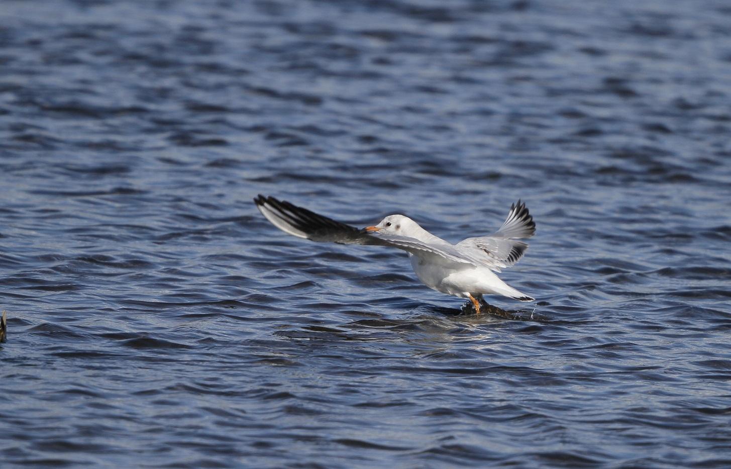 海無し県の沼でのユリカモメ_f0239515_21302090.jpg