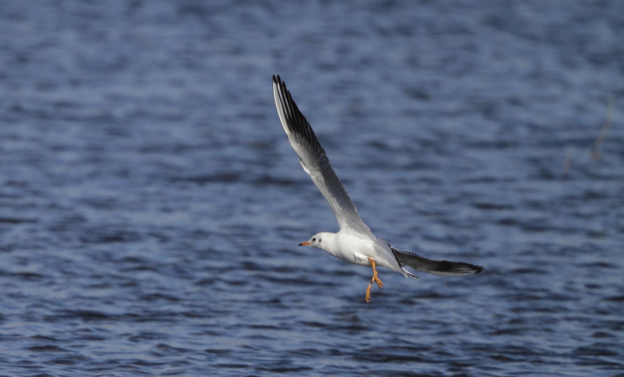 海無し県の沼でのユリカモメ_f0239515_21314278.jpg