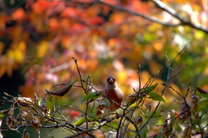 2013.11.13 今日は綺麗な写真が撮れました・早戸川林道、権現山・ベニマシコ、ジョウビタキ_c0269342_19375927.jpg