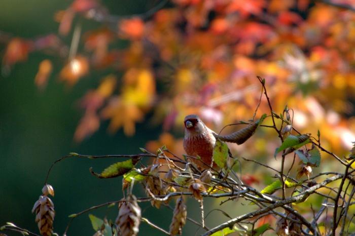 2013.11.13 今日は綺麗な写真が撮れました・早戸川林道、権現山・ベニマシコ、ジョウビタキ_c0269342_19392373.jpg