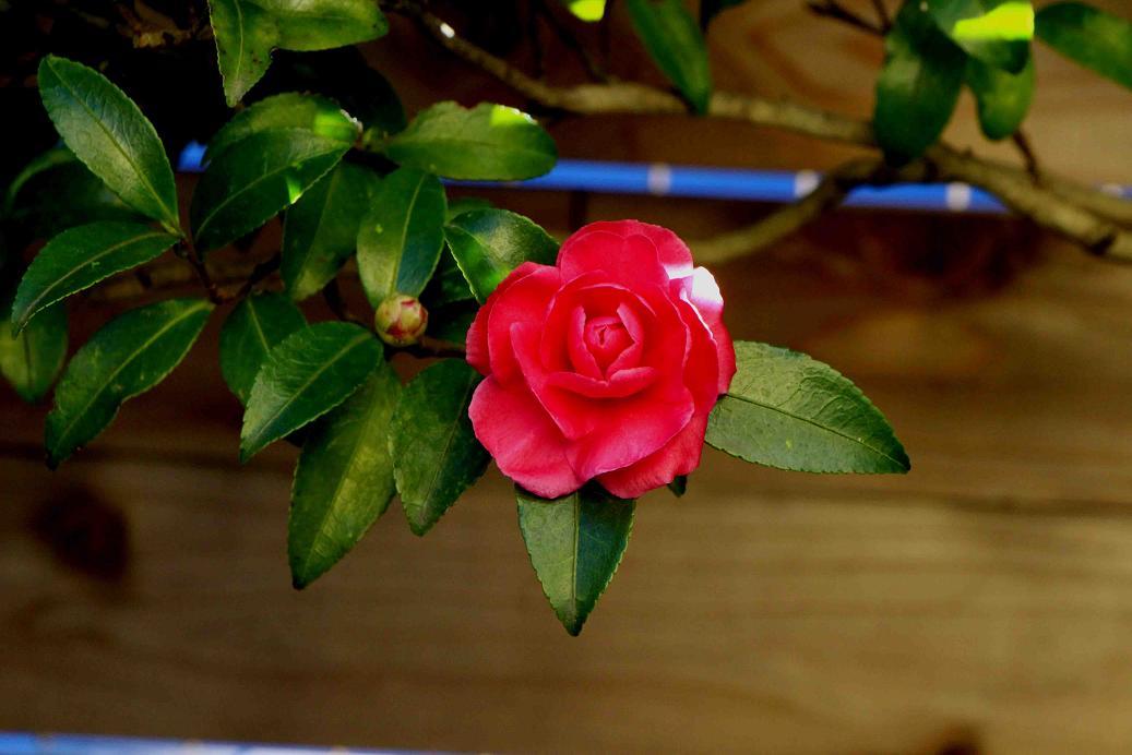 山茶花の垣根_a0107574_15292264.jpg