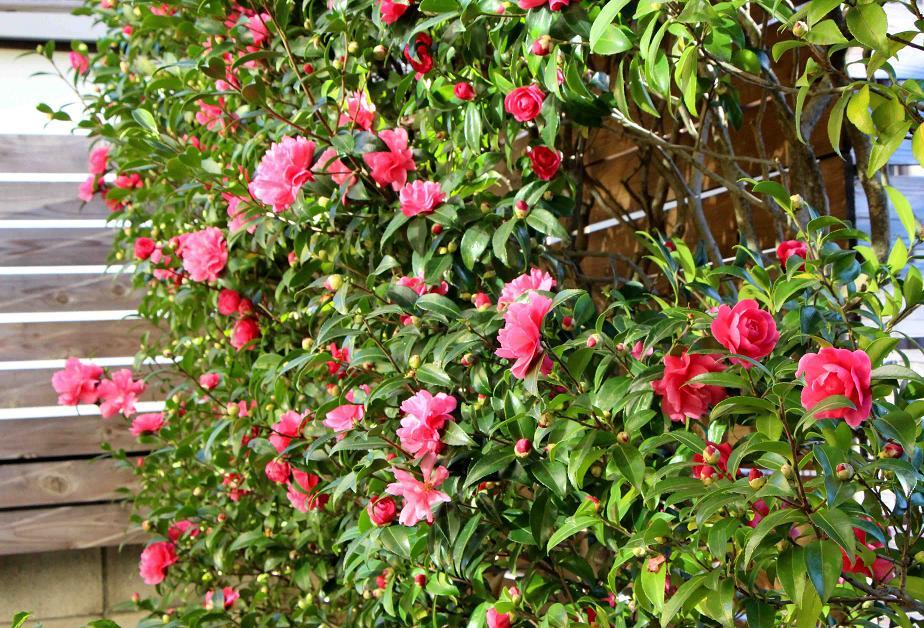 山茶花の垣根_a0107574_15294423.jpg