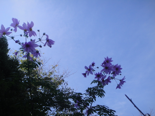キカラスウリの保護・・・せんなん里海公園唯一の植物_c0108460_21573140.jpg