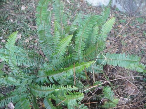 キカラスウリの保護・・・せんなん里海公園唯一の植物_c0108460_221642100.jpg