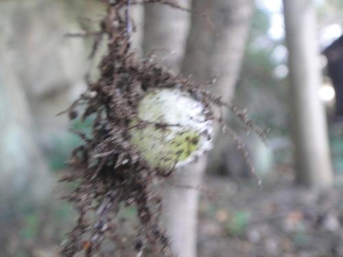 キカラスウリの保護・・・せんなん里海公園唯一の植物_c0108460_2217180.jpg