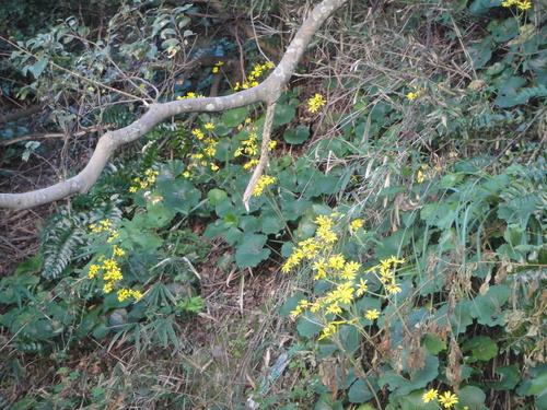 キカラスウリの保護・・・せんなん里海公園唯一の植物_c0108460_2218389.jpg