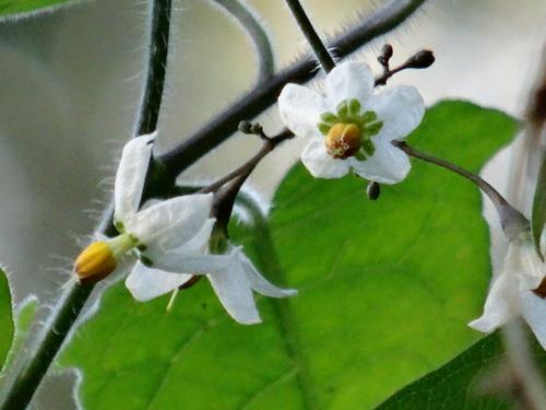 キカラスウリの保護・・・せんなん里海公園唯一の植物_c0108460_2220091.jpg