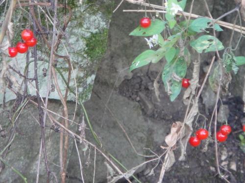 キカラスウリの保護・・・せんなん里海公園唯一の植物_c0108460_22202839.jpg